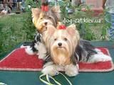 Собаки, щенята Йоркширський тер'єр, ціна 12000 Грн., Фото