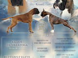 Собаки, щенята Боксер, ціна 20000 Грн., Фото