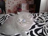 Кошки, котята Шотландская вислоухая, цена 1600 Грн., Фото