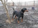 Собаки, щенки Гладкошерстный фокстерьер, цена 2300 Грн., Фото
