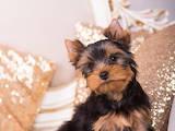 Собаки, щенки Йоркширский терьер, цена 21000 Грн., Фото