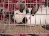 Гризуни Кролики, ціна 70 Грн., Фото