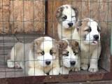 Собаки, щенята Середньоазіатська вівчарка, ціна 8500 Грн., Фото