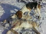 Собаки, щенки Эстонская гончая, цена 1400 Грн., Фото