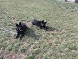 Собаки, щенята Німецька вівчарка, ціна 1 Грн., Фото