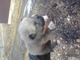 Собаки, щенки Западно-Сибирская лайка, цена 2500 Грн., Фото