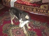 Собаки, щенята Сибірський хаськи, ціна 1500 Грн., Фото