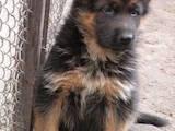 Собаки, щенята Німецька вівчарка, ціна 8120 Грн., Фото