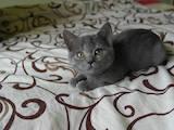 Кішки, кошенята Шотландська короткошерста, ціна 1100 Грн., Фото