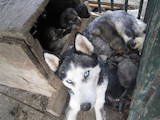 Собаки, щенки Сибирский хаски, цена 1000 Грн., Фото