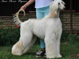 Собаки, щенки Афганская борзая, цена 40000 Грн., Фото