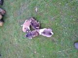 Собаки, щенята Західно-Сибірська лайка, ціна 500 Грн., Фото