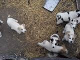 Собаки, щенята Середньоазіатська вівчарка, ціна 700 Грн., Фото