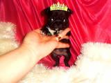 Собаки, щенята Мопс, ціна 5000 Грн., Фото