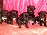 Собаки, щенята Мопс, ціна 7500 Грн., Фото