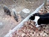 Собаки, щенки Русско-Европейская лайка, цена 3600 Грн., Фото