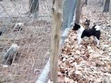Собаки, щенята Російсько-Європейська лайка, ціна 3600 Грн., Фото