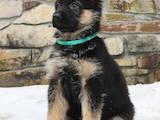 Собаки, щенята Німецька вівчарка, ціна 4200 Грн., Фото