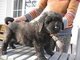 Собаки, щенята Ньюфаундленд, ціна 3888 Грн., Фото
