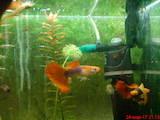 Рибки, акваріуми Рибки, ціна 25 Грн., Фото