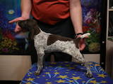 Собаки, щенки Немецкая гладкошерстная легавая, цена 4000 Грн., Фото