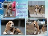 Собаки, щенята Бігль, ціна 16000 Грн., Фото