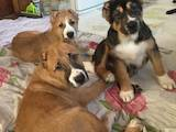 Собаки, щенки Среднеазиатская овчарка, цена 5500 Грн., Фото