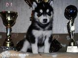 Собаки, щенята Сибірський хаськи, ціна 4500 Грн., Фото