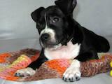 Собаки, щенята Американський стаффордширський тер'єр, ціна 11000 Грн., Фото