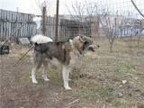 Собаки, щенки Западно-Сибирская лайка, Фото