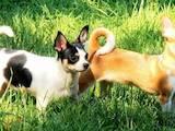 Собаки, щенята Чихуа-хуа, ціна 1800 Грн., Фото