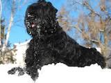 Собаки, щенки Черный терьер, цена 7500 Грн., Фото