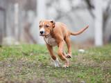 Собаки, щенки Американский стаффордширский терьер, цена 14000 Грн., Фото