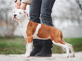 Собаки, щенята Американський стаффордширський тер'єр, ціна 18000 Грн., Фото