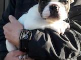 Собаки, щенята Французький бульдог, ціна 10000 Грн., Фото