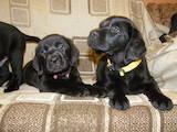 Собаки, щенята Лабрадор ретрівер, ціна 4100 Грн., Фото