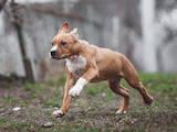 Собаки, щенята Американський стаффордширський тер'єр, ціна 22000 Грн., Фото