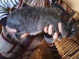 Грызуны Кролики, цена 250 Грн., Фото