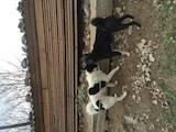 Собаки, щенки Русско-Европейская лайка, цена 800 Грн., Фото