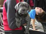 Собаки, щенята Кане Корсо, ціна 54120 Грн., Фото