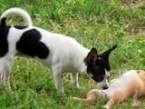 Собаки, щенята Чихуа-хуа, ціна 3000 Грн., Фото