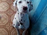 Собаки, щенки Далматин, цена 2500 Грн., Фото