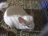 Грызуны Шиншиллы, цена 600 Грн., Фото
