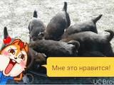 Собаки, щенки Русско-Европейская лайка, цена 200 Грн., Фото