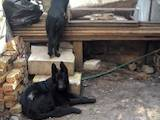 Собаки, щенята Німецька вівчарка, ціна 5400 Грн., Фото
