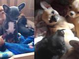 Собаки, щенки Чихуа-хуа, цена 7800 Грн., Фото