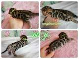 Кошки, котята Бенгальская, цена 22000 Грн., Фото