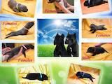 Собаки, щенки Кане Корсо, цена 15000 Грн., Фото
