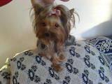 Собаки, щенята Йоркширський тер'єр, ціна 6500 Грн., Фото