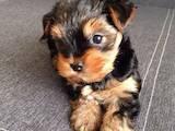 Собаки, щенки Йоркширский терьер, цена 2400 Грн., Фото